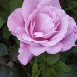 お花のブログURL再びお引越ししました。