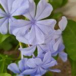 夏の花 ガーデニング ブルーでまとめて爽やかに❣