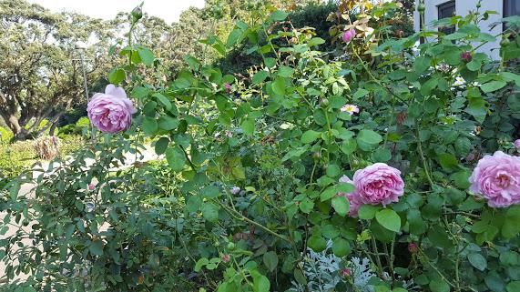 秋咲のバラがこんもりと咲き誇っています