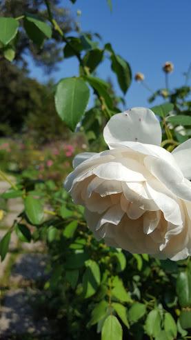 秋空のバラ