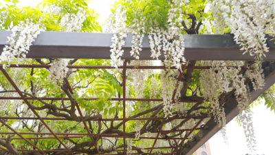 純白の花が星のように降ってきます