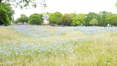 春には優しいブルーのネモフィラ