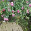 つるバラ 誘引は12月から1月中旬 立派な花を沢山咲かせるカギ❢