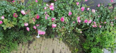 7mに及ぶのつるバラ