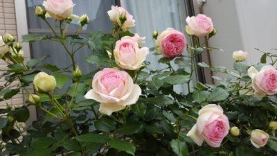 横並びに花が鈴なりに咲きました ピエール・ド・ロンサール