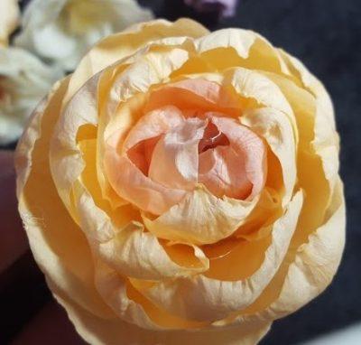 中心の色と外側の花びらの色が微妙に違うのが特徴