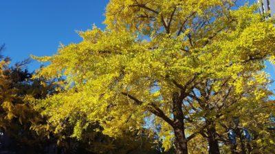 秋が見ごろの銀杏並木