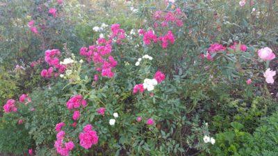 春だけでなく秋もバラが楽しめる