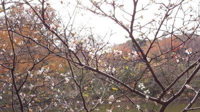なぜか秋なのに桜