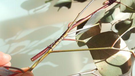 枝と枝をワイヤーで括り付ける