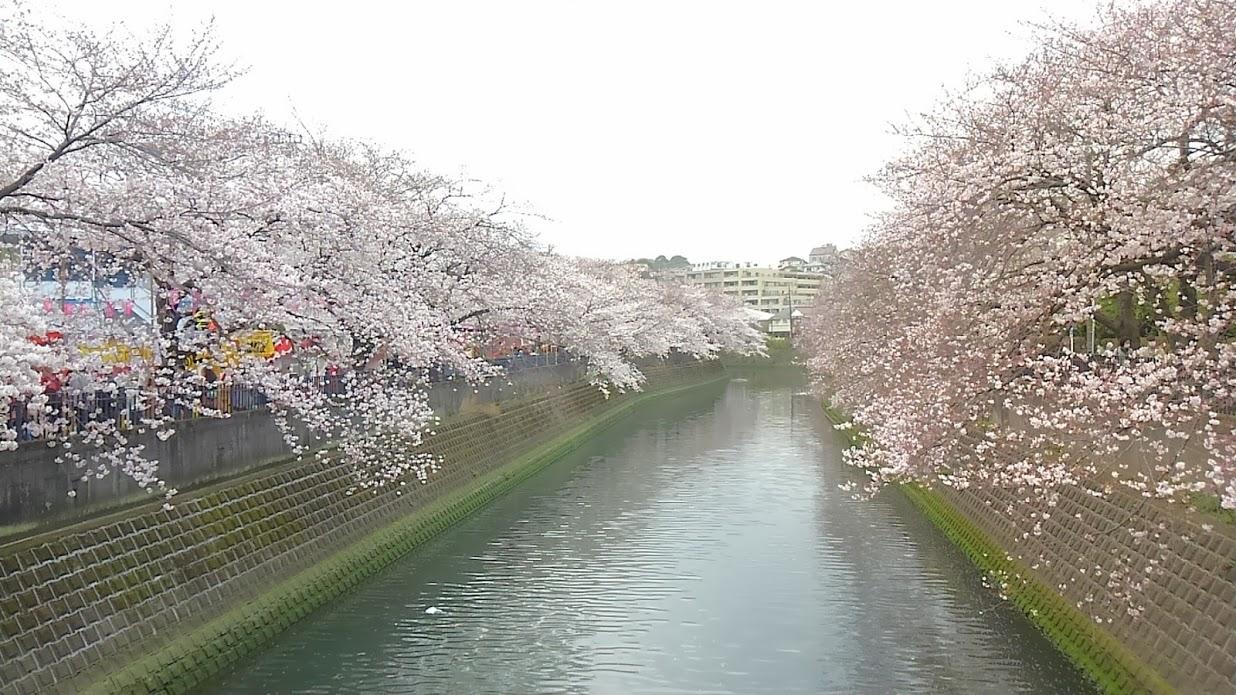 大岡川沿いの桜並木