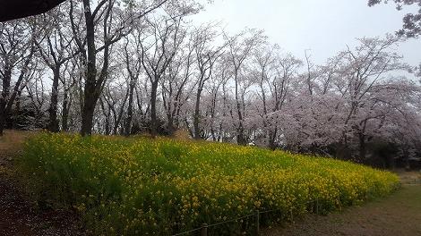 桜と菜の花の供宴