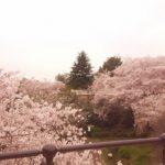 お花見を横浜の公園でするなら 3.山下公園~港の見える丘公園