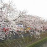 横浜でお花見クルーズするなら大岡川