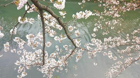 水面に垂れる桜