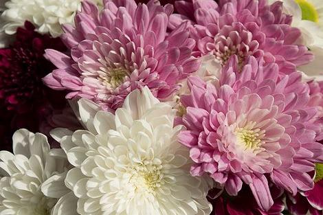 菊でも明るい色