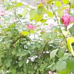 つるバラ 10月のお手入れと 新しい大苗を植え方