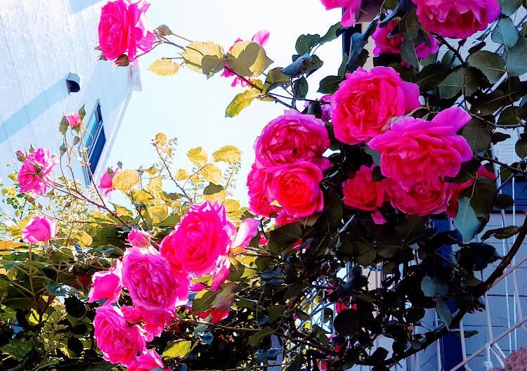 無数に咲くつるバラ