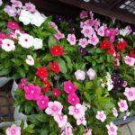 夏の花 暑さに強い草花の植え付けとお手入れのしかたは?