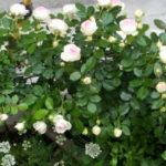 つるバラに肥料 3月4月のお手入れはこれ 開花直前にするべきこと